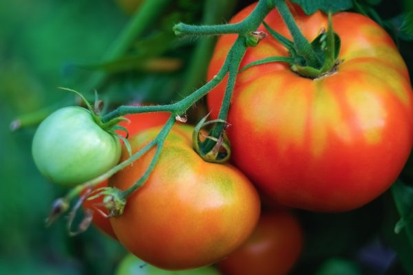 tomate-tudela